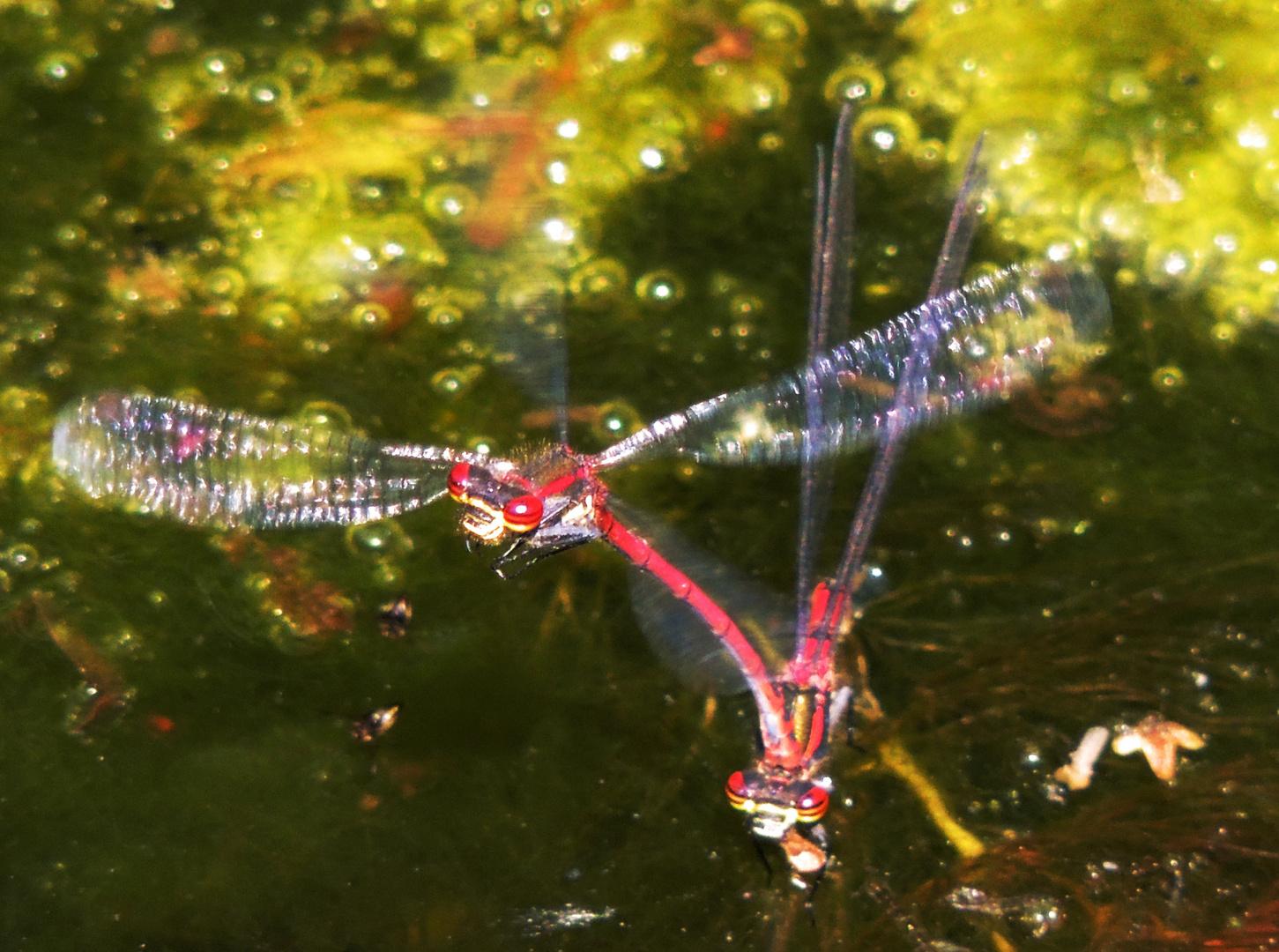 Libellenpaar II