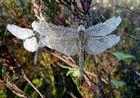 Libellenpärchen im Morgentau