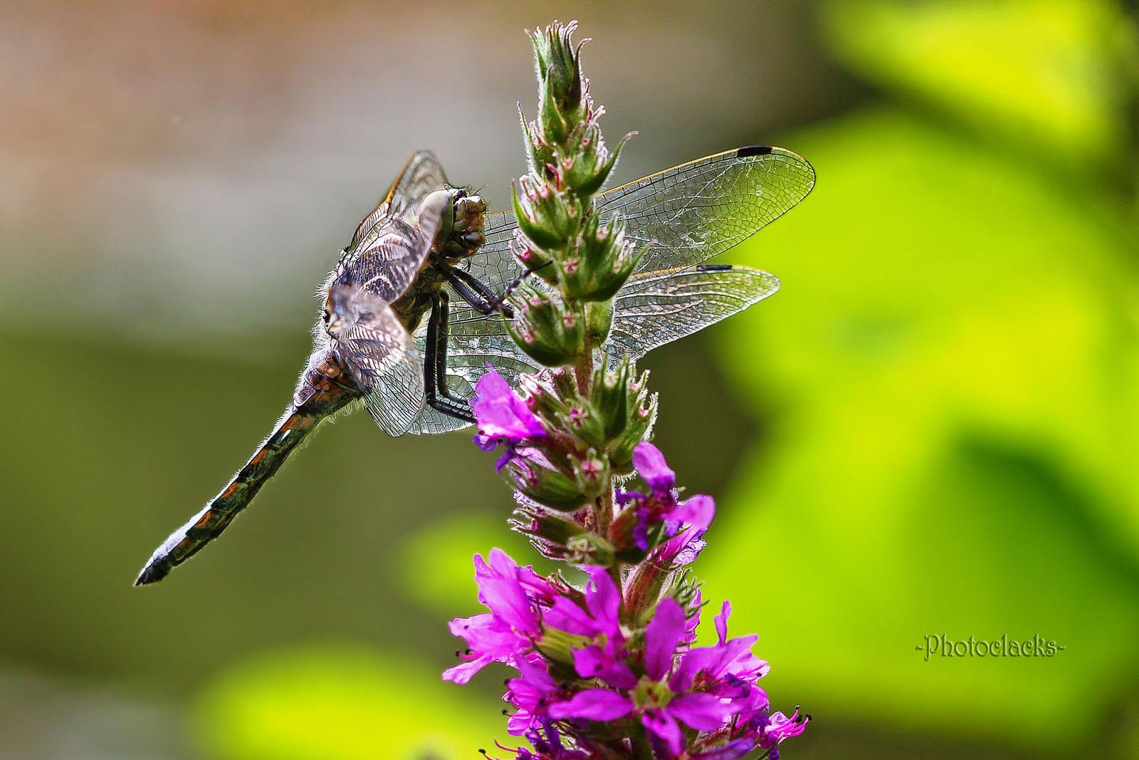Libellenpause