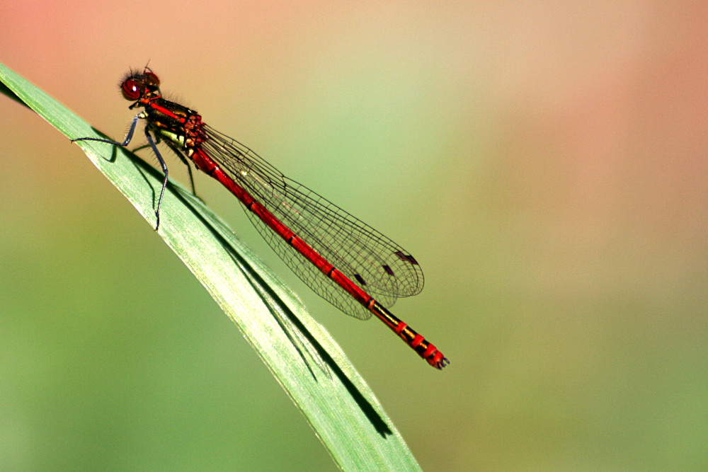 Libellenrot