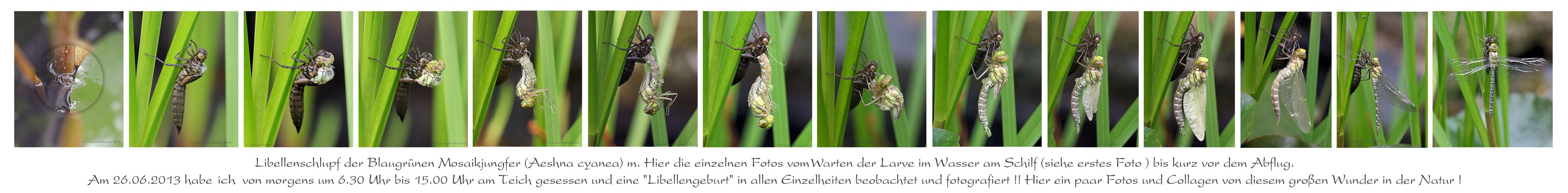 Libellenschlupf der Blaugrünen Mosaikjungfer (Aeshna cyanea) m