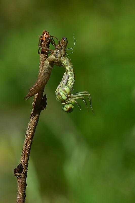 Libellenschlupf Nr.10