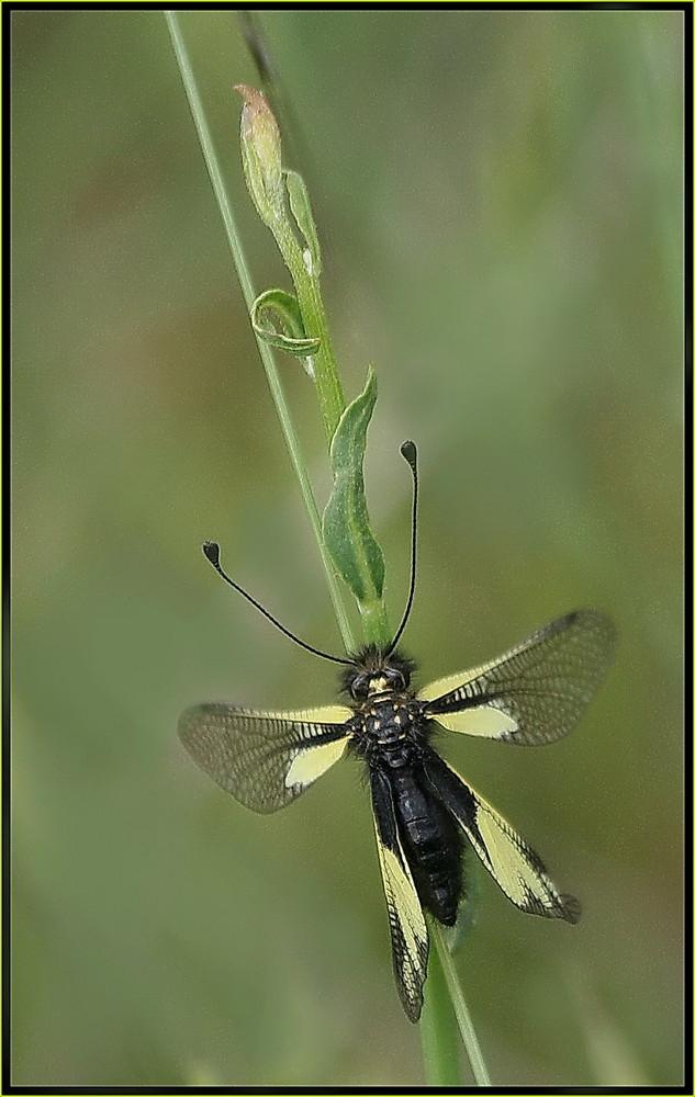 Libelloïde Coccajus