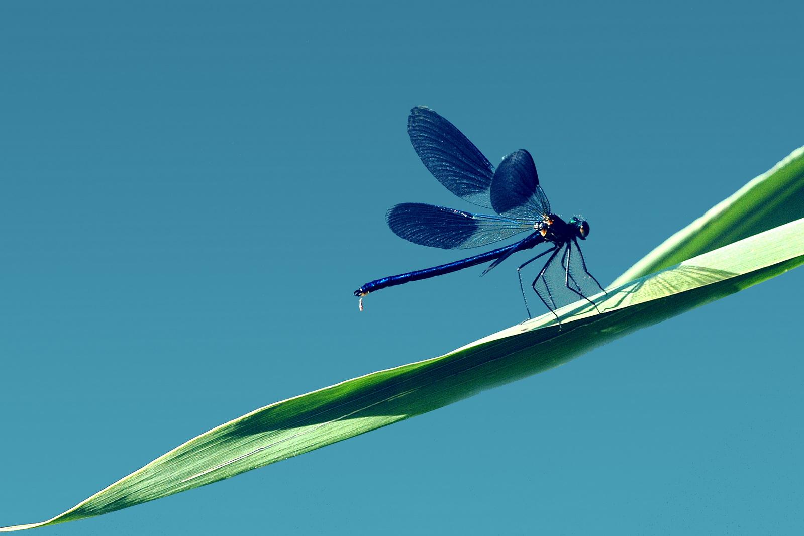 Elicottero E Libellula : Libellula blu foto immagini animali allo stato