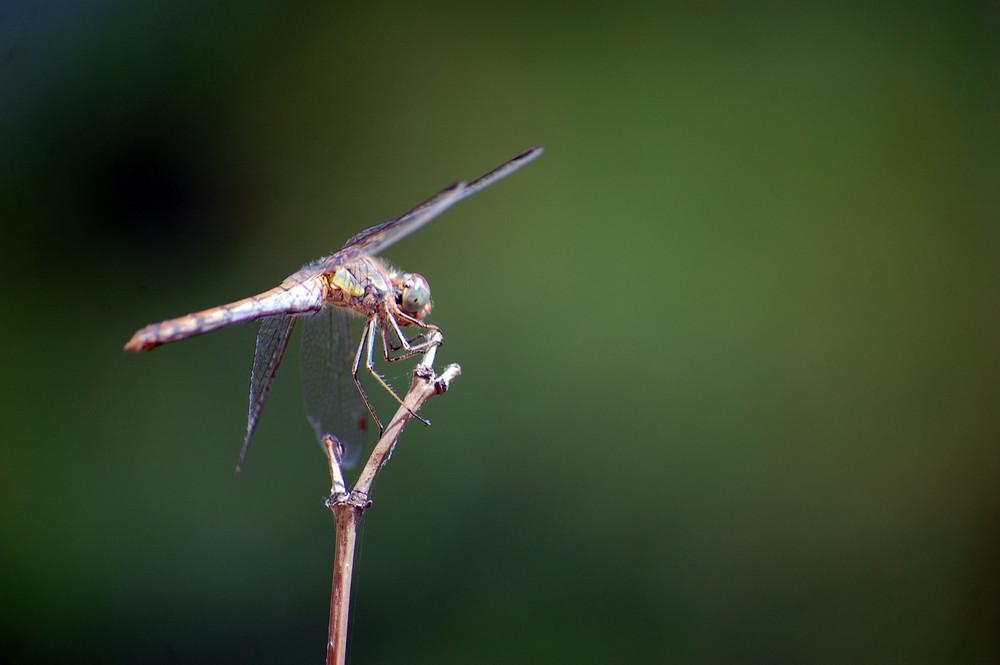libellula nel verde