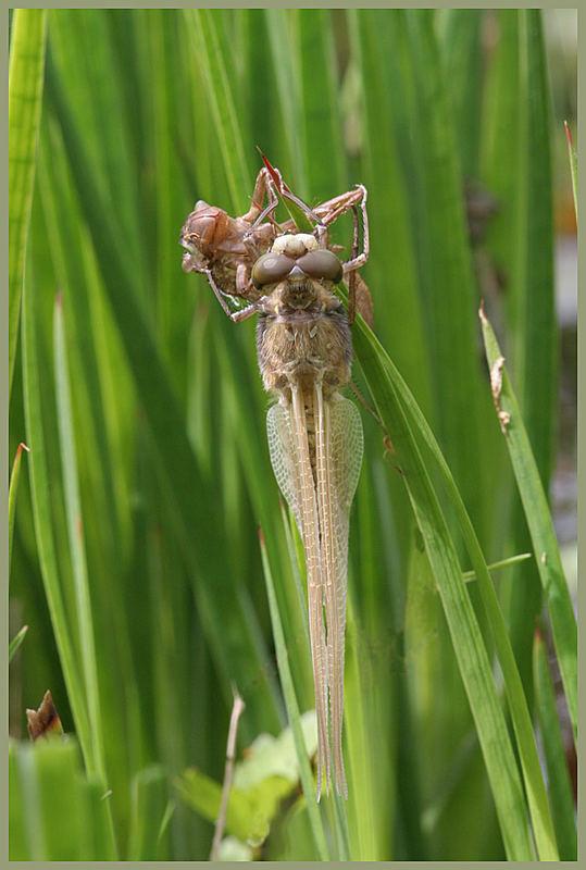 Libellula quadrimaculata (Vierfleck)