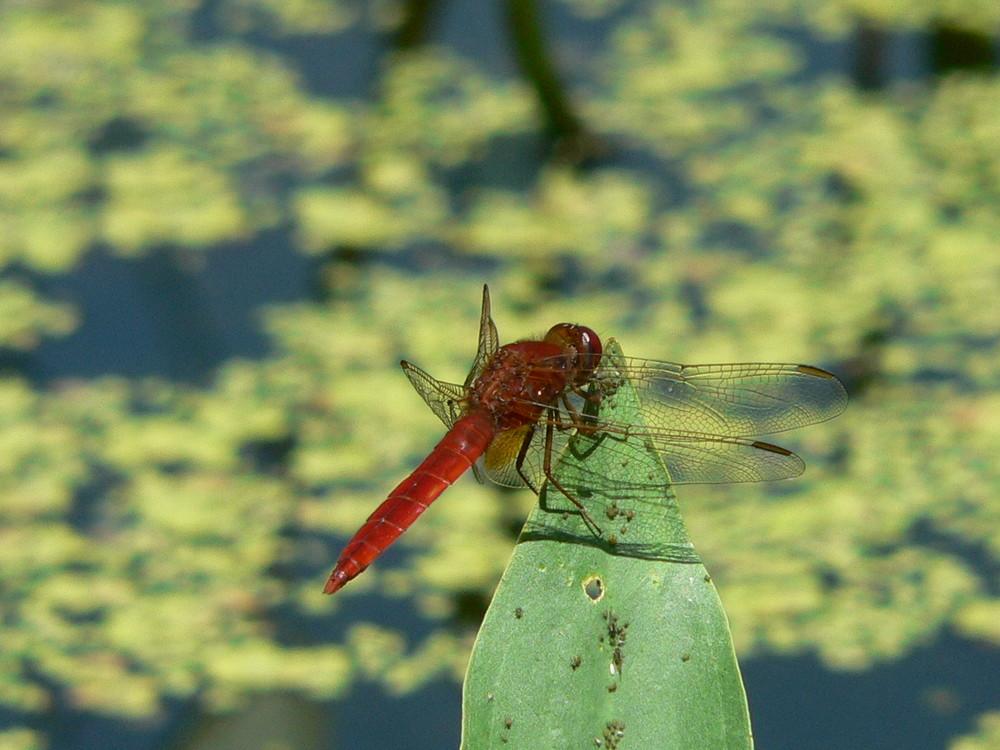 libellula scarlatta