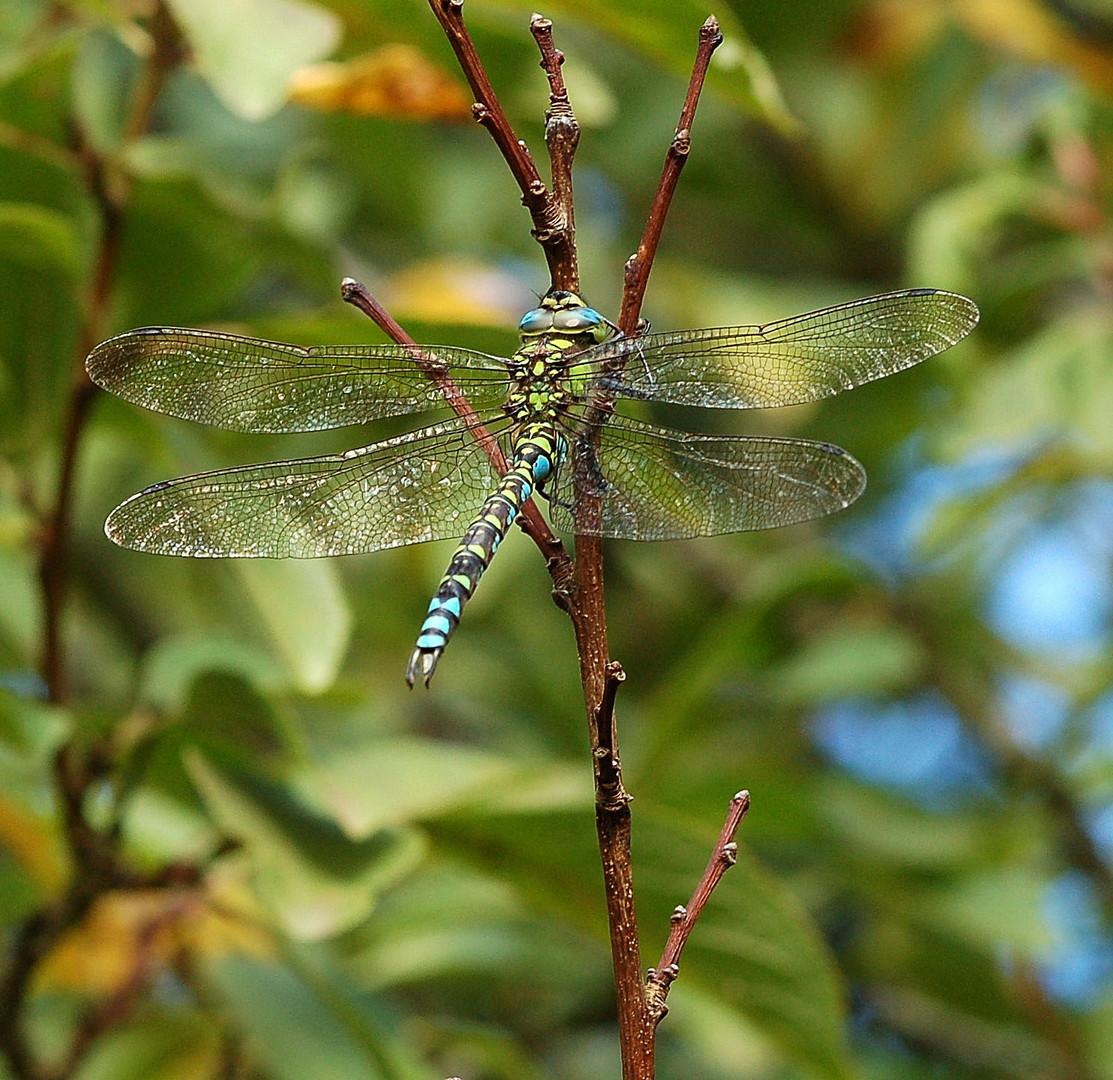 Libellule ( Aeschne bleue,mâle ).