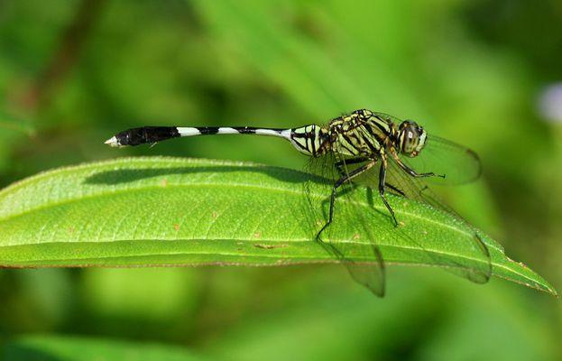 Libellule asiatique (2)