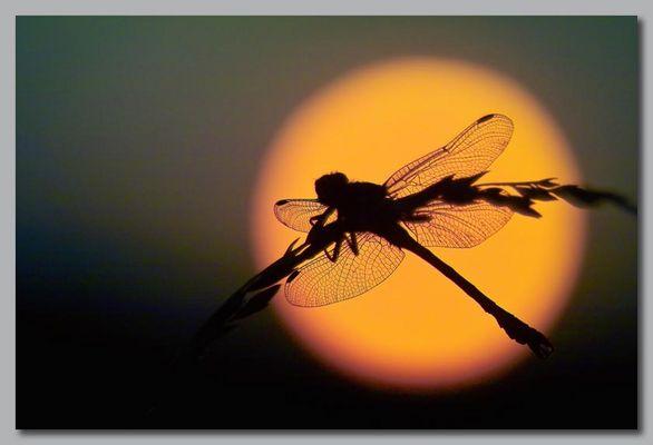Libellule au lever du soleil