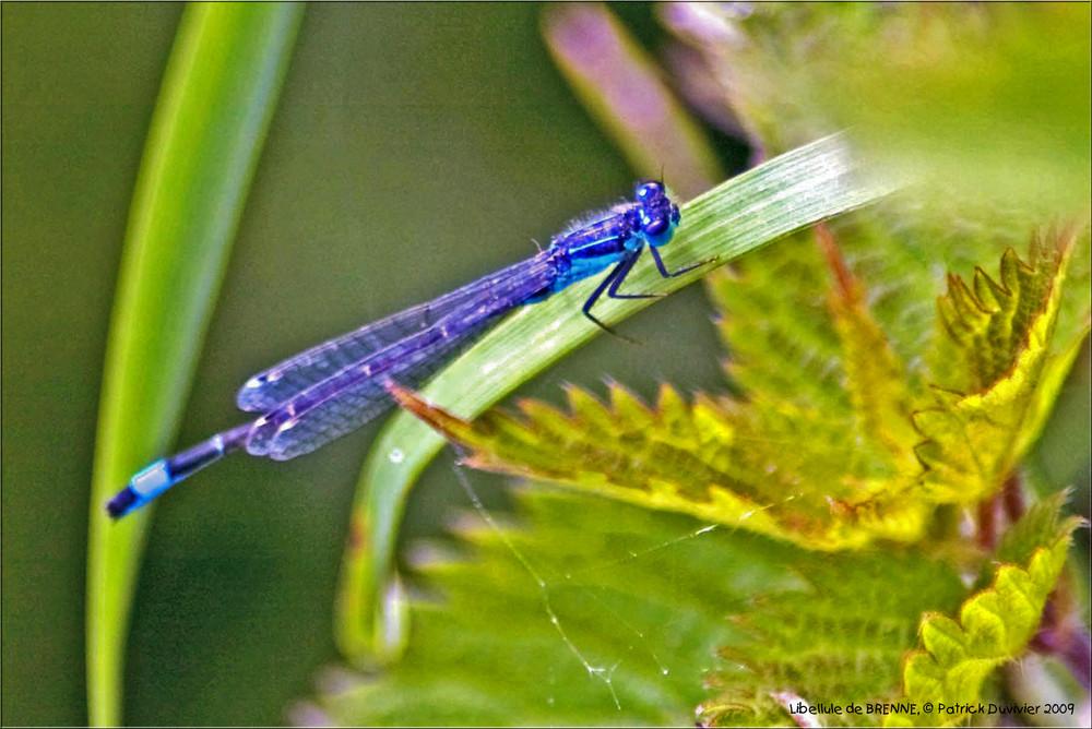 Libellule bleue, Blue Dragon fly