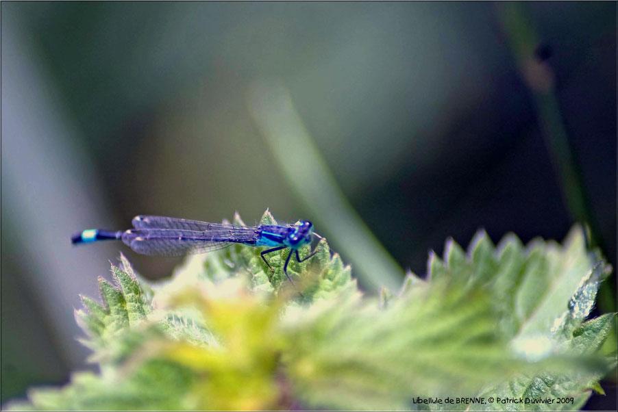Libellule bleue de Brenne, blue Dragonfly in Brenne