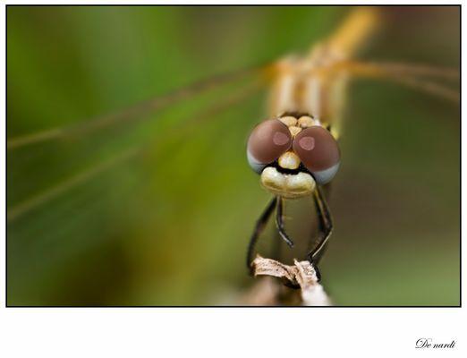 libellule de face