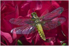 Libellule déprimée (femelle) sur rose