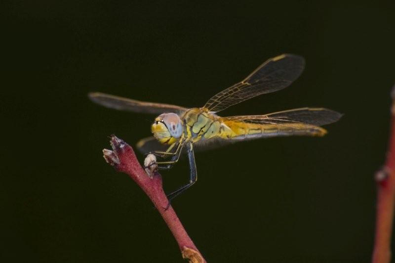 libellule du jardin