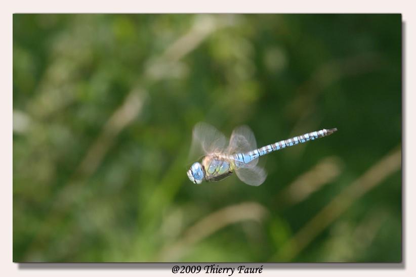libellule en vol