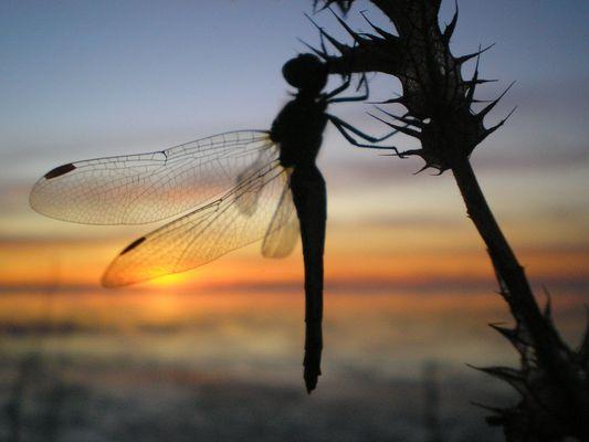 libellule et couché de soleil