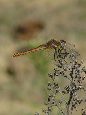 libellule multicolore