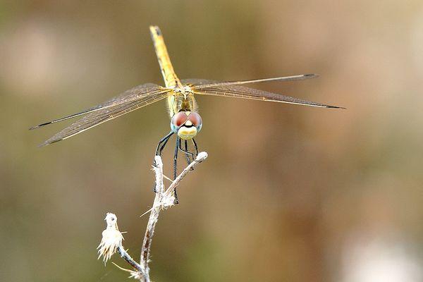 libellule n°1