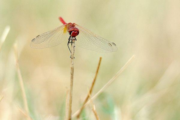 libellule n°2