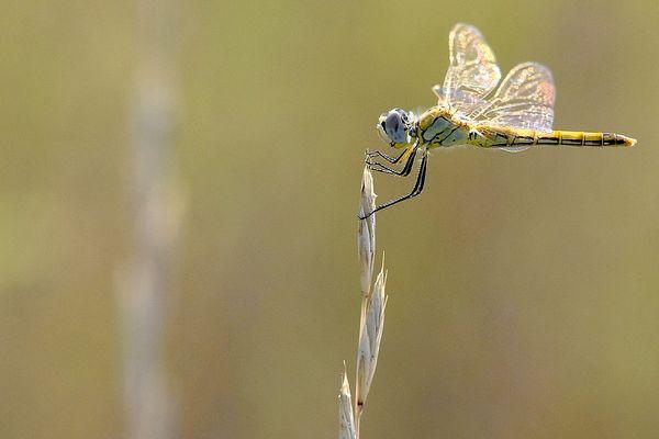 libellule n°3