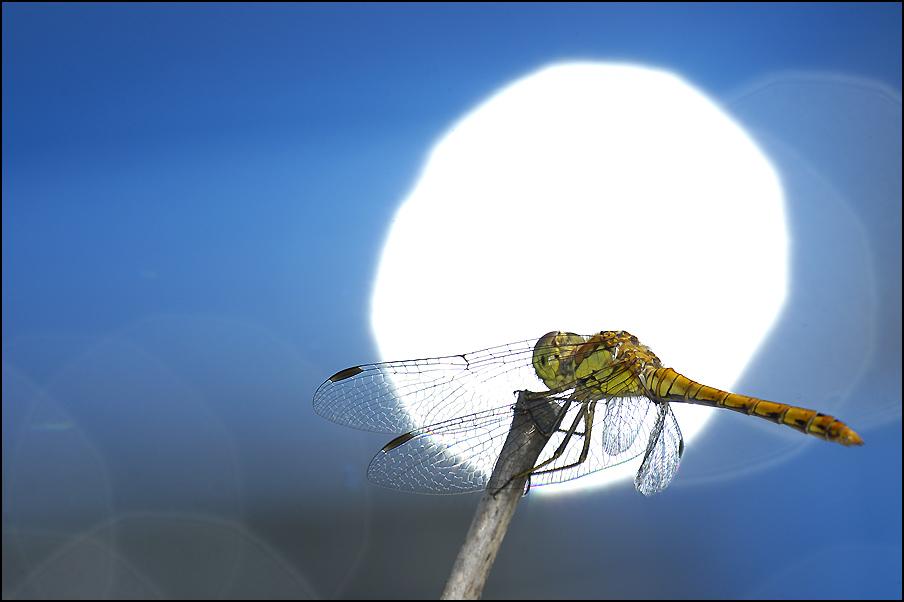 libellule posée.