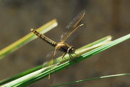 libellule prête au décollage