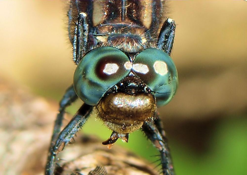 libellule qui mange