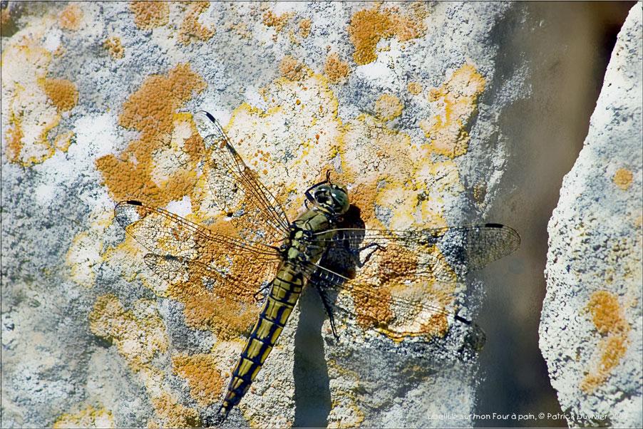 Libellule verte, green dragonfly