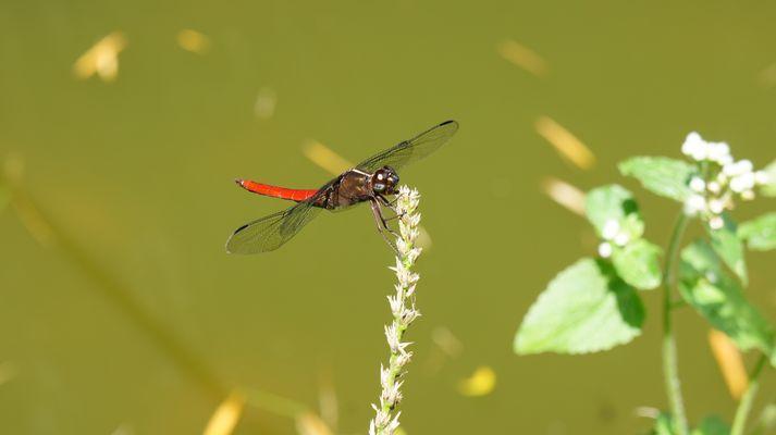 Libélula Roja de la Región Cafetera que habita en lagos