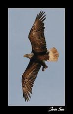 Libertad.( Aguila Calva en vuelo.)