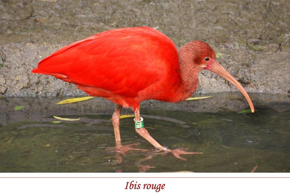 l'Ibis rouge....