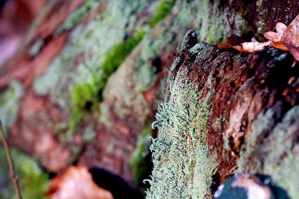 Lichen, bois et feuilles