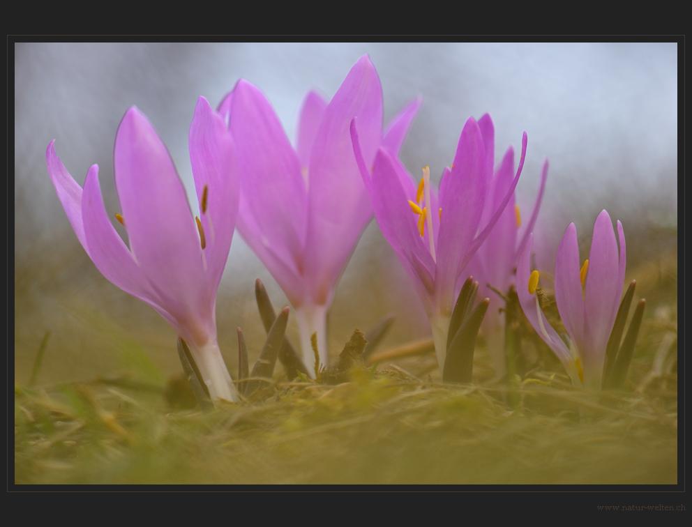 Lichtblumengrüppchen