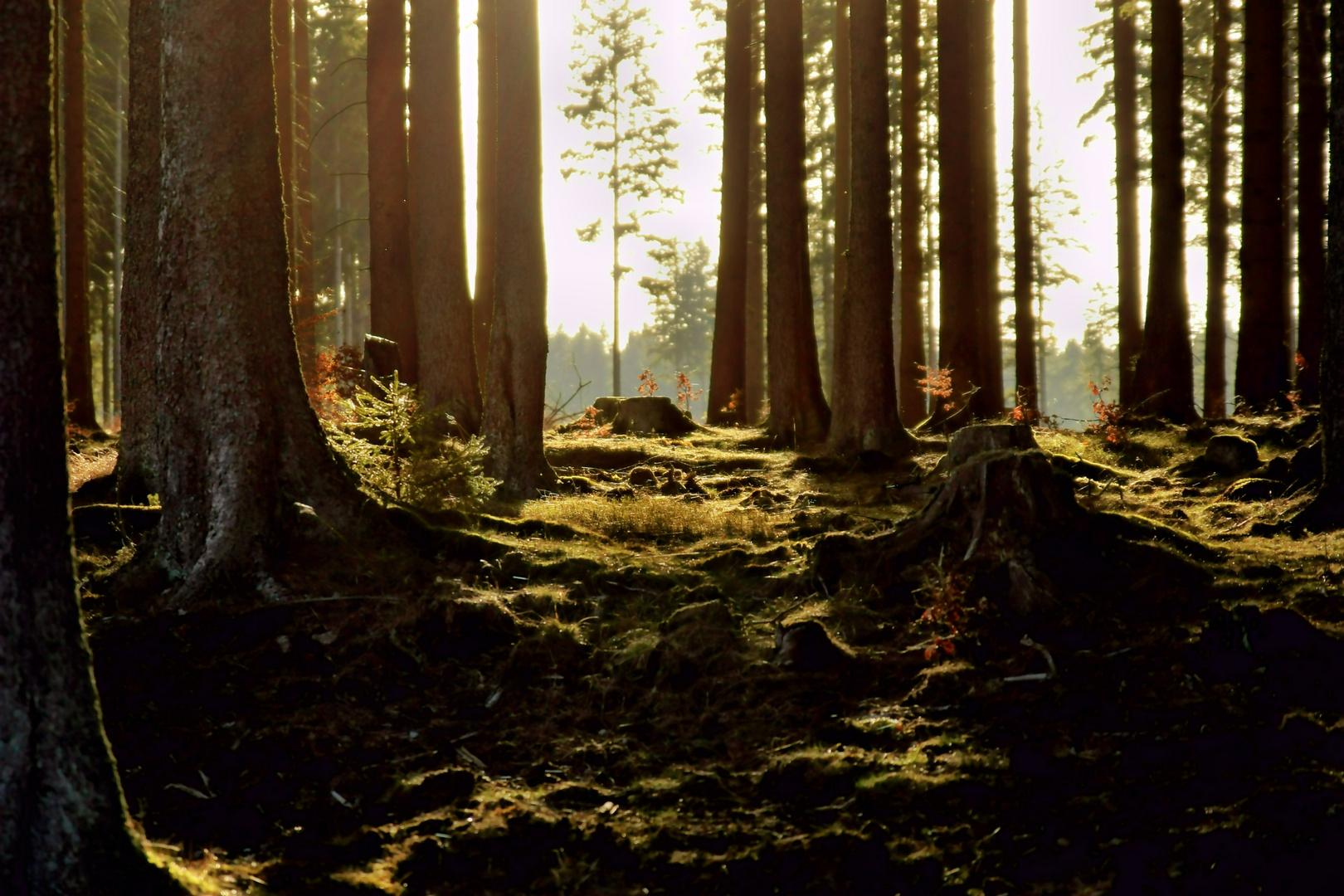 Lichteinfall im Waldstück