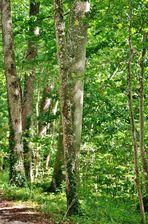 lichter Birkenwald