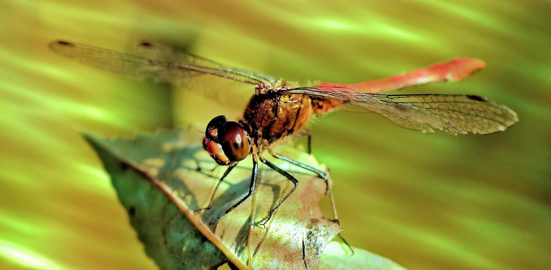 Lichtspielerei mit einer Libelle