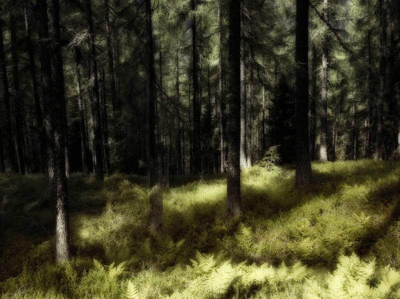 Lichtstimmung im Lärchenwald