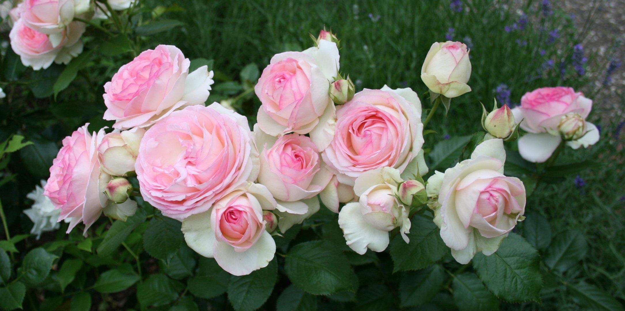 Liebe in Rose