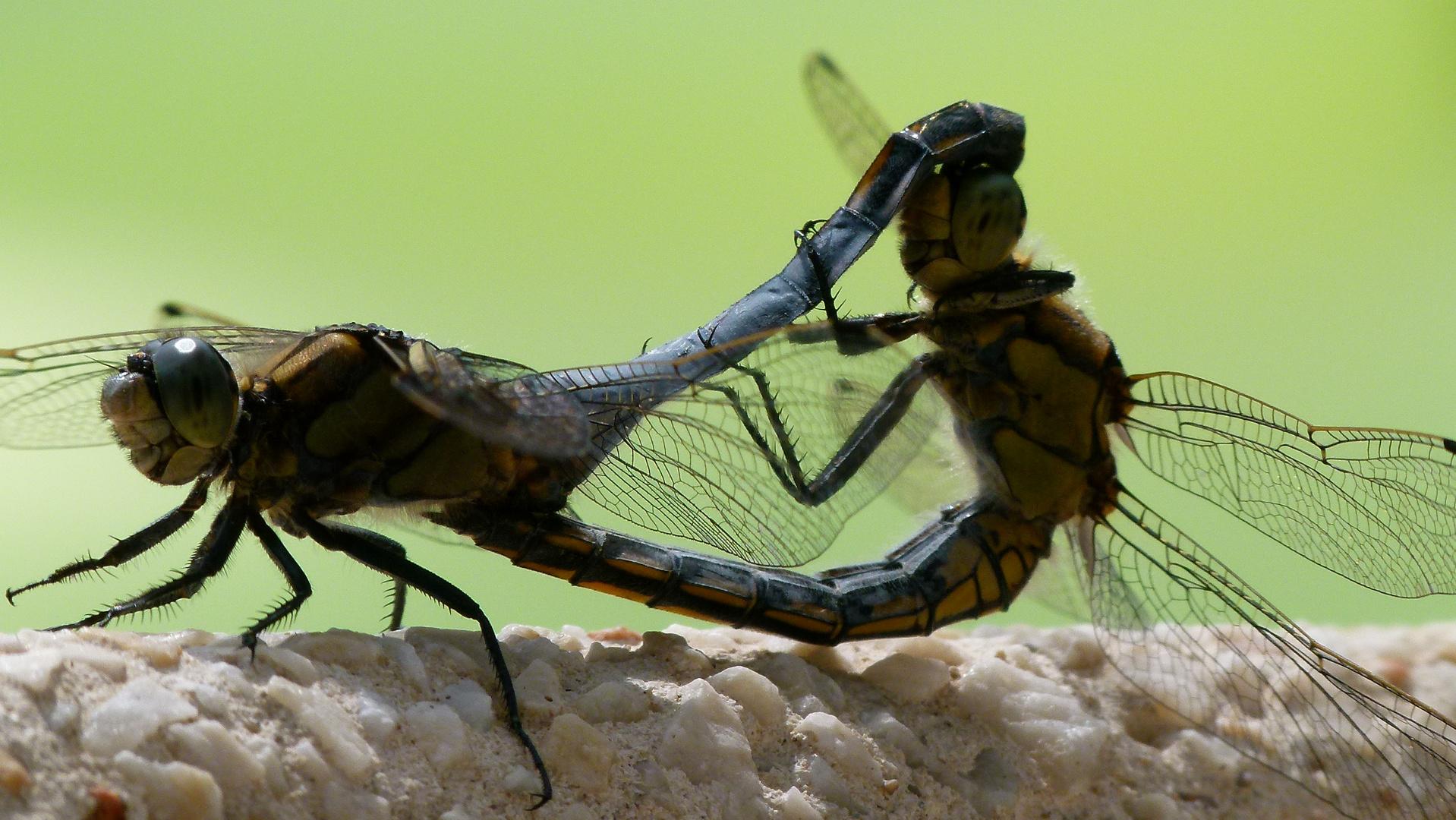 Liebellen Paarung