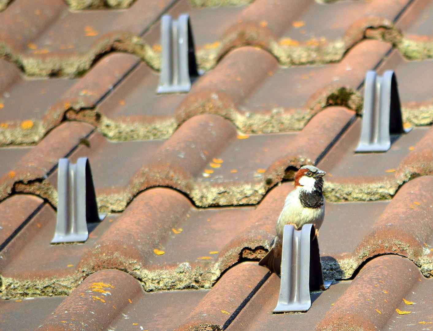 Lieber den Spatz ... auf dem Dach?
