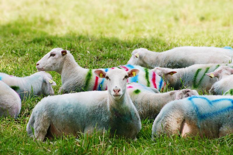 Liebes Schaf