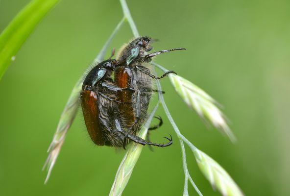 Liebesleben der Käfer