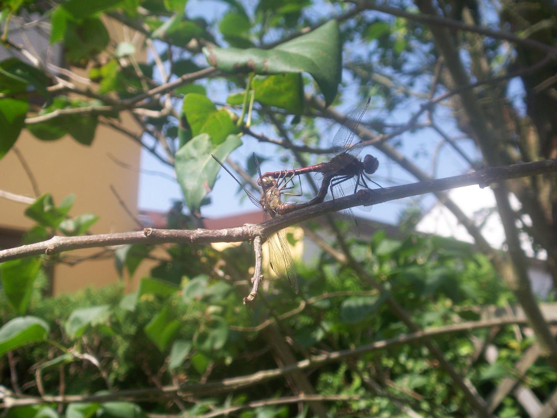 Liebesspiel der Libellen