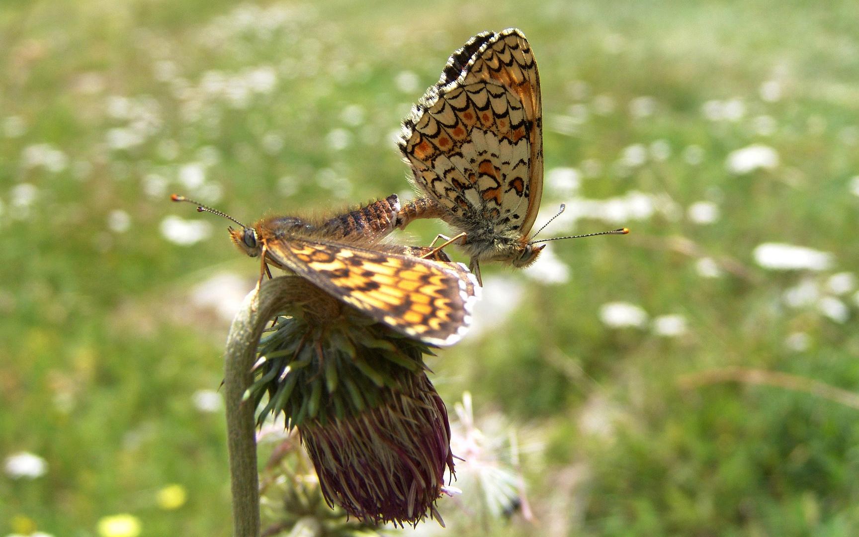 Liebesspiel der Schmetterlinge