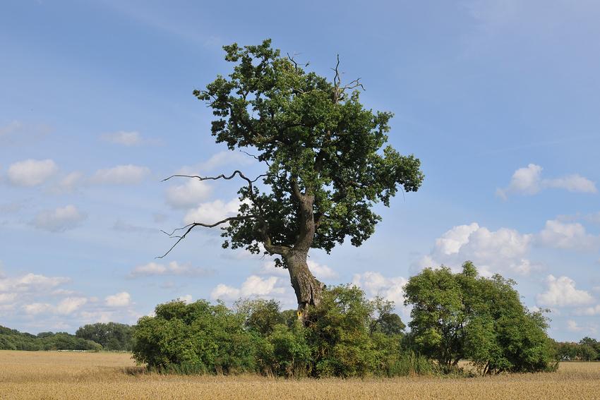 Lieblingsbäume-Mecklenburger Wolkeneiche