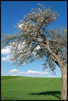 Lieblingsbaum im Frühling
