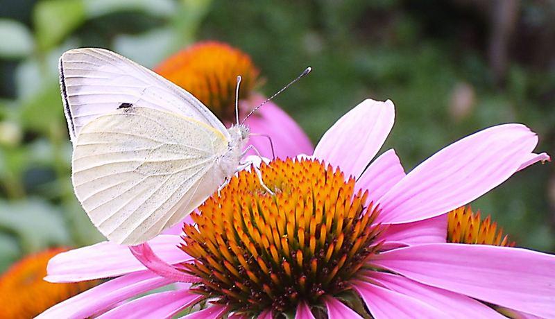 Lieblingsblume der Schmetterlinge