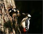 Lieferengpass bei den Buntspechten