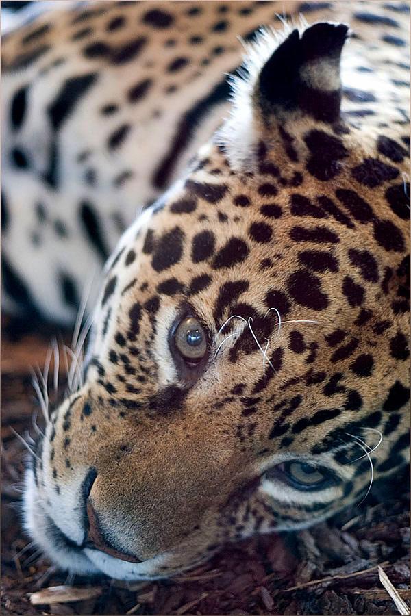 Liegeleopard